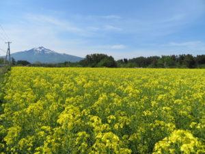 鯵ケ沢町の菜の花畑